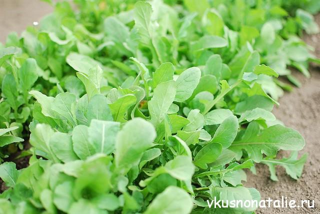 rukkola salat poleznie svoistva (3)